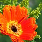 Orange Gerbera by Gretchen Dunham