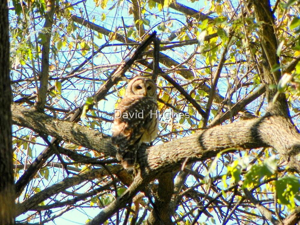 Camoflaged Barred Owl by David  Hughes