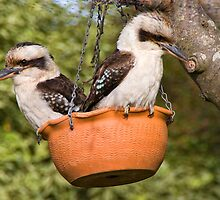 Kookaburras under the old apple tree by Ian Fegent