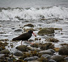 Oyster Catcher, Davis Bay BC by Nadine Olsen