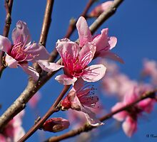 Peach Tree Blossoms of Spring by Betty Northcutt