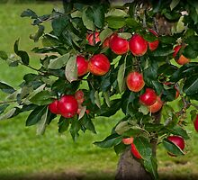 Summer Apples by ©FoxfireGallery / FloorOne Photography