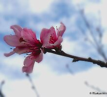 Floating On Air - Spring Peach Blossoms by Betty Northcutt