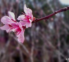 Out On A Limb - Peach Tree Spring Blossoms by Betty Northcutt