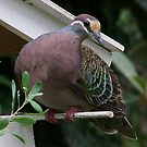 Bronzewing Pidgeon by Rick Playle