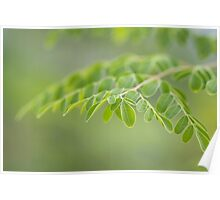 Moringa leaves closeup Poster