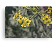 Blooming Rue Canvas Print