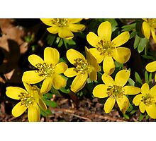 Winter Aconite Photographic Print
