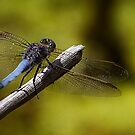 Dragonfly by Margaret Metcalfe