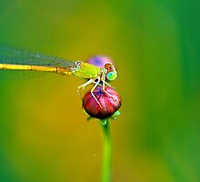 Damselfly and The Bud by Mukesh Srivastava