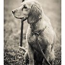 """Stay""-Gundog Puppy waiting by AndyBiggar"