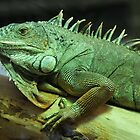 Green Iguana by neil harrison