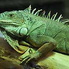 Green Iguana by neil harrison