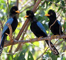 Yucatan jay fledglings by Rob Lavoie