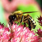 Honey Bee on Sedum Flowers by Bev Pascoe