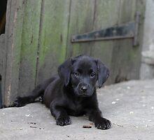 Black Labrador Puppy by Natasha Von Bujnoch