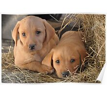 Two Brothers - Yellow Labrador Puppies Poster