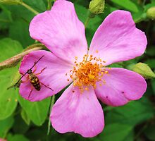 small bug on pink fower by SusieG