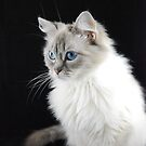 pettle the ragdoll cat by Eden Stanger