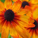 The End of Summer Rudbeckia by lorilee