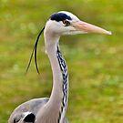 Grey Heron (HDR) by JLaverty