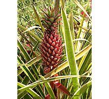 *•.¸♥♥¸.•* .(。◕‿◕。)Pineapple Grows In Hawaii*•.¸♥♥¸.•* .(。◕‿◕。) Photographic Print