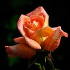 a fine rose flower by pic4you