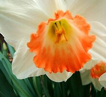 Daffodil © by Dawn M. Becker
