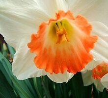 Daffodil © by Dawn M. Becker