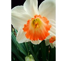 Daffodil © Photographic Print