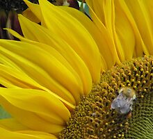 Bumble Bee Sunflower  by Janice Petitjean