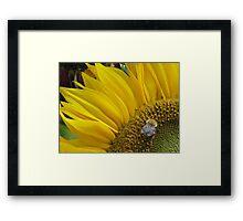 Bumble Bee Sunflower  Framed Print