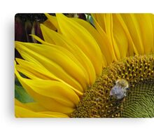 Bumble Bee Sunflower  Canvas Print
