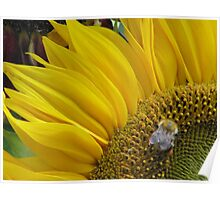 Bumble Bee Sunflower  Poster