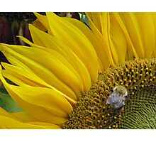 Bumble Bee Sunflower  Photographic Print