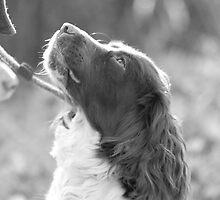Springer Spaniel ready to go by Natasha Von Bujnoch