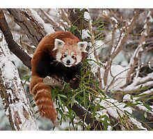 Red Panda Attitude Photographic Print