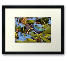Purple Gallinule  Framed Print