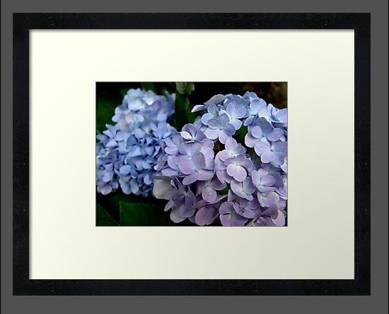 Hydrangeas, Blue and Lavender by May Lattanzio
