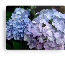 Hydrangeas, Blue and Lavender Metal Print