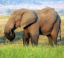Elephant in late afternoon light by Graeme  Hyde