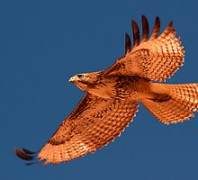 022211 Redtailed Hawk by Marvin Collins