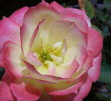 Miniature Cameleon Rose in it's pink form. Macro by Rita Blom