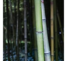 Century Bamboo (Colour) Photographic Print