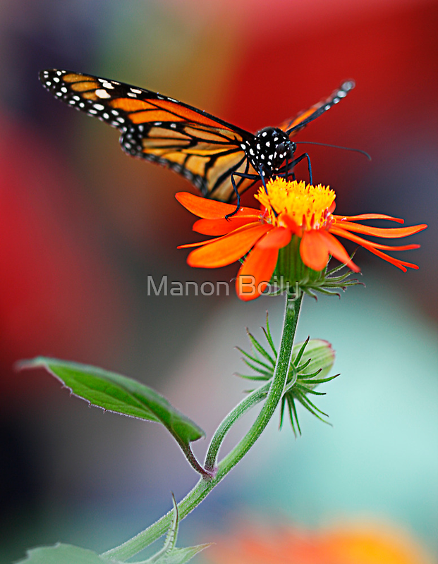 orange butterfly by Manon Boily
