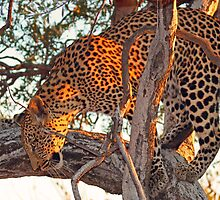 Classic leopard sighting in tree by jozi1