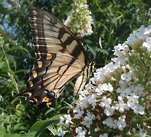 Tiger Swallowtail on Butterfly Bush by SenskeArt