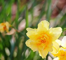 Springtime Daffodils by DebbieCHayes