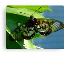 Glasswing Acraea andromacha Canvas Print