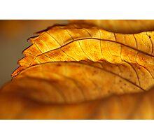 Hydrangea Leaf Edge Photographic Print